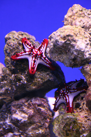 Lora W Dail Photography Patriotic Red Knobbed Starfish